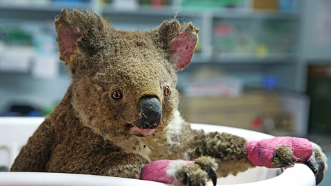 Palaszczuk government to launch 'koala priority zones' to save Australian icon | Sky News Australia