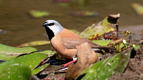 Endangered bird could threaten Adani's Qld coal mine