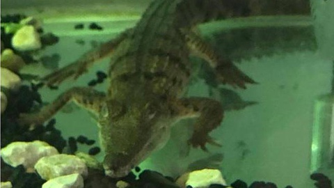 Former bikie charged after crocodile found in NSW home