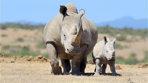 China reinstates ban on rhino and tiger bone use