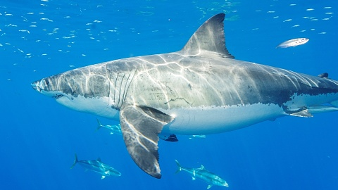 Perth fisherman fights off great white shark with speargun | Sky News Australia