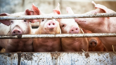 Swine flu epidemic behind 'critical pork shortage' | Sky News Australia