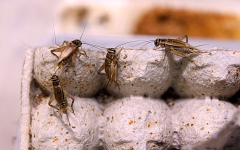 NZ company tackling food sustainability with cricket farming   Sky News Australia
